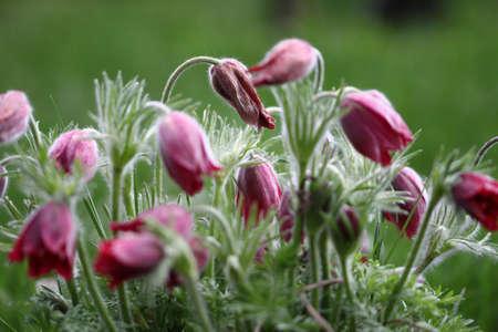pulsatilla: pasqueflower Pulsatilla