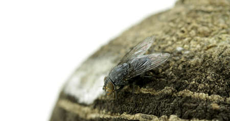 aas: SCAVENGER fly Stock Photo