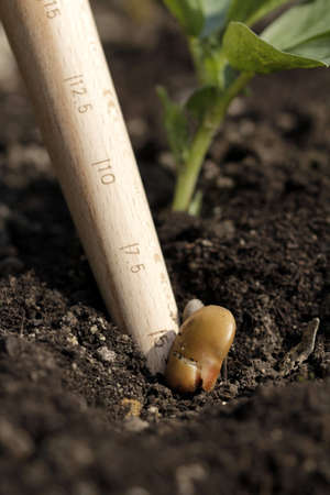 dibble: big beans planting Stock Photo