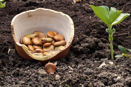 protein source: big beans planting Stock Photo