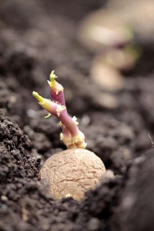 tuberosum: seed potatoes