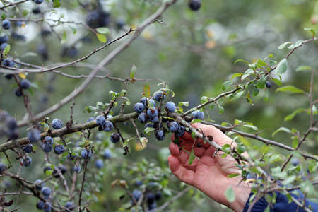 Woman in the countryside collects sloe