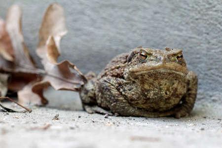 earth toad on the floor Standard-Bild