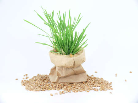 for healthy nutrition, cultivation of wheatgrass Standard-Bild