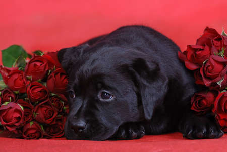 Puppy with roses