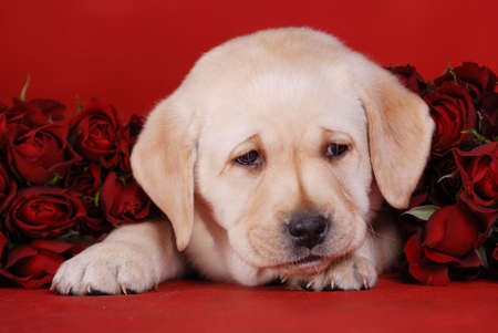 Labrador puppy with roses Stock Photo