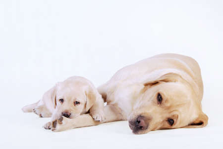 Labrador puppy with his mother Stock Photo