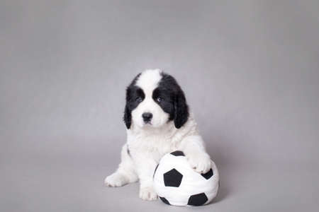 Little Landseer(newfoundland type) puppy  with soccer ball portrait at grey background