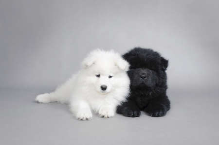 Little Chow chow  and Samoyed puppies portrait at grey background