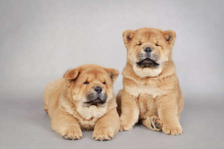 Two  little Chow chow  puppies portrait Stock Photo