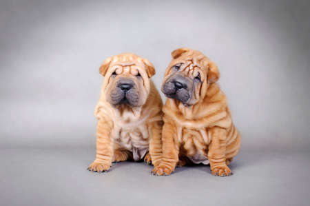 Two Chinese Shar pei puppies portrait
