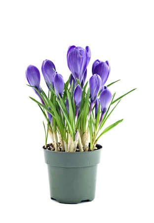 Purple crocus isolated on white background in vertical format with copy space Stock Photo
