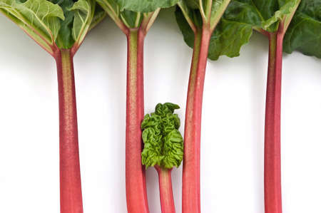 Bunch of fresh picked organic rhubarb isolated on white background Stock Photo