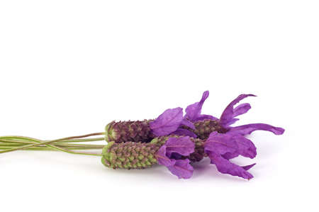 Spanish lavender flowers isolated on white in horizontal format with copy space Stock Photo