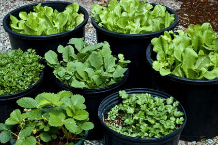 Salad greens, herbs and vegetables grown in large black pots make for a small, manageable, portable garden 免版税图像 - 9868217