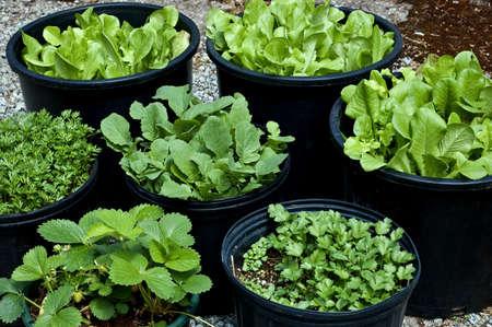 Salat, Kräuter und Gemüse in großen schwarzen Töpfen machen für eine kleine, überschaubare, tragbaren Garten