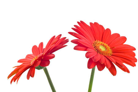 Vibrant red and orange gerbera daisy isolated on white background  Stock Photo