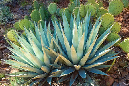 Agave and Prickly Pear cactus in natural setting, Arizona