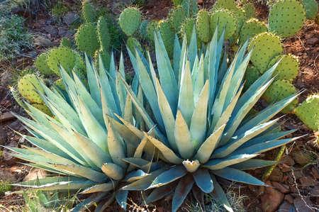 agave: Nopal agave y el espinoso en el entorno natural, Arizona