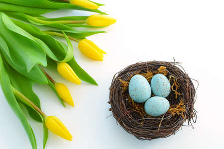 Yellow tulips framing bird nest with speckled blue eggs on white background with room for text Stock Photo