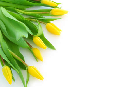 Fan of yellow tulips on one side of blank white background with copy space
