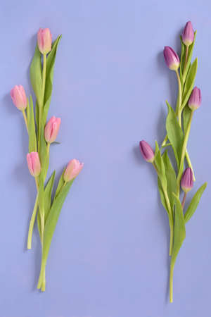 Fresh cut pink and purple tulips on mauve background in vertical format in flat lay composition with room for text. Reklamní fotografie