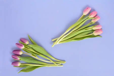 Fresh cut pink and purple tulips on mauve background in horizontal format in flat lay composition with room for text.