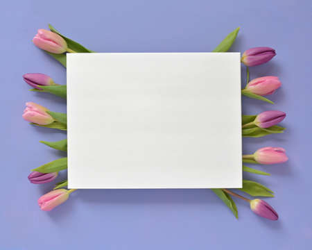 Fresh cut pink and purple tulips on mauve background in horizontal format in flat lay composition.  White card with room for text. Reklamní fotografie