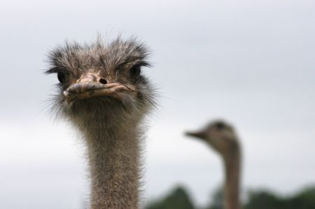 africa kiss:  Two ostrich heads, one in the foreground looking into the camera, the other out of focus looking towards left - landscape with space on the right side.