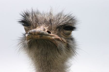 sarcastic: A close up portrait of an ostrich with his eye lids closed.