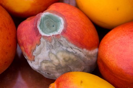 attacked: A mold attacked peach surrounded by good ones. Stock Photo
