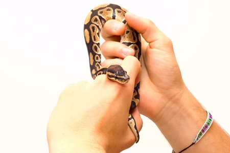 ball python: Close up of a young ball python  Python Regius  pet snake held by a pair of young male hands  Isolated on white, lots of copy space, selective focus on the snake