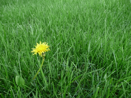 A single dandelion  Taraxacum Officinale  flower on a perfectly green, lush lawn  Weed control concept picture  Banco de Imagens