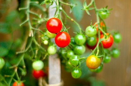 ripened: Cherry tomatoes on the vine, red and green with an out of focus wooden stake at the golden third of the image  Selective focus on the ripened tomatoes with shallow depth of field  Stock Photo