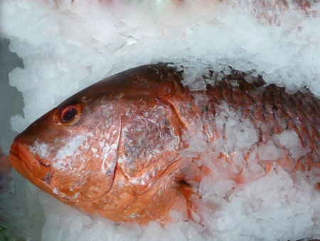Close up of a red snapper   Lutjanus Campechanus  fish on ice  Concept picture for healthy eating  photo