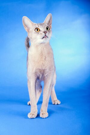 Adult abyssinian blue cat on a blue background.
