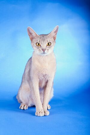 Adult abyssinian blue cat on a blue background. Stock Photo