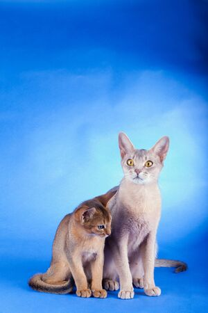 Two abyssinian cats, ruddy kitty and adult on a blue background