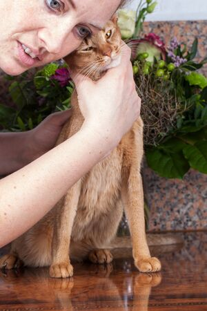 a sorrel female abyssinian cat on a brown table, with caress woman Stock Photo