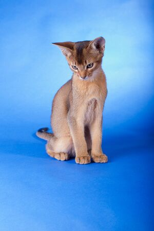 An little abyssinian ruddy cat, kitty on a blue background. Stock Photo