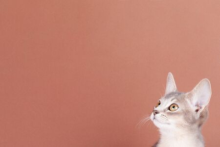 An little abyssinian blue cat, kitty on a brown background.
