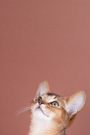 An little abyssinian ruddy cat, kitty on a brown background.