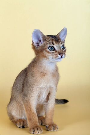 An little male abyssinian ruddy cat, kitty on a yellow background.