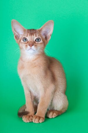 An little abyssinian sorrel cat, kitty on a green background. 版權商用圖片
