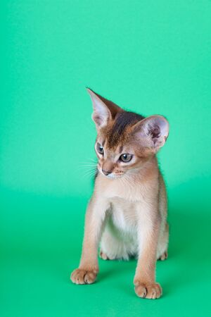 An little abyssinian ruddy cat, kitty on a green background.