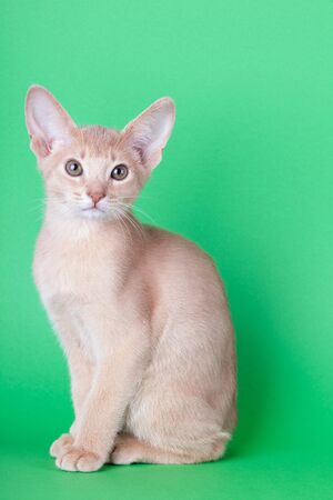An little abyssinian fawn cat, kitty on a green background.