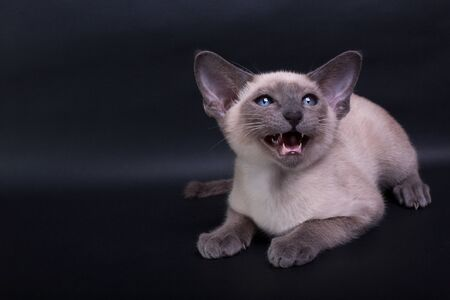 An siamese cat on a black background, kitty siam blue point