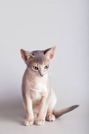 An little abyssinian blue cat, kitty on a gray background. 版權商用圖片