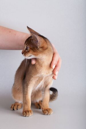 Hands  holding abyssinian ruddy cat, kitty on a gray background.
