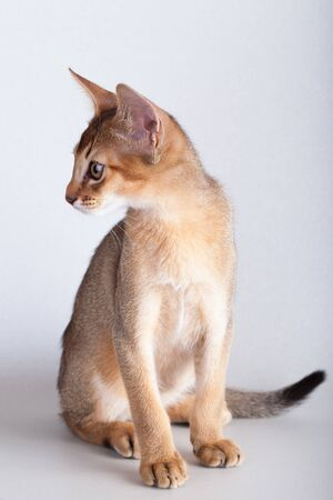 An little abyssinian ruddy cat, kitty on a gray background.